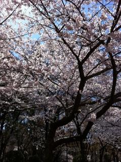 20110411sakura00.jpg