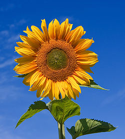250px-Sunflower_sky_backdrop.jpg
